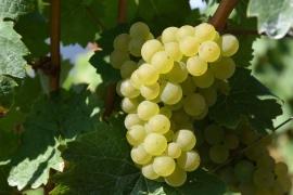 IGP vin des Allobroges